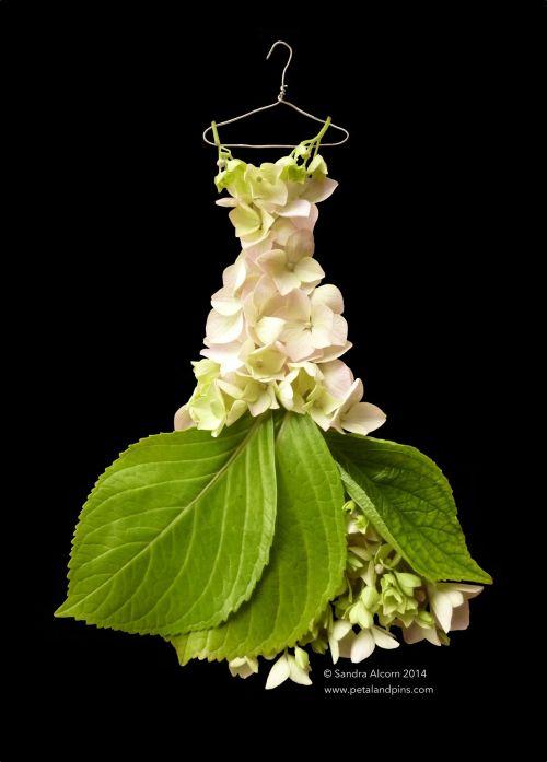 cream hydranga