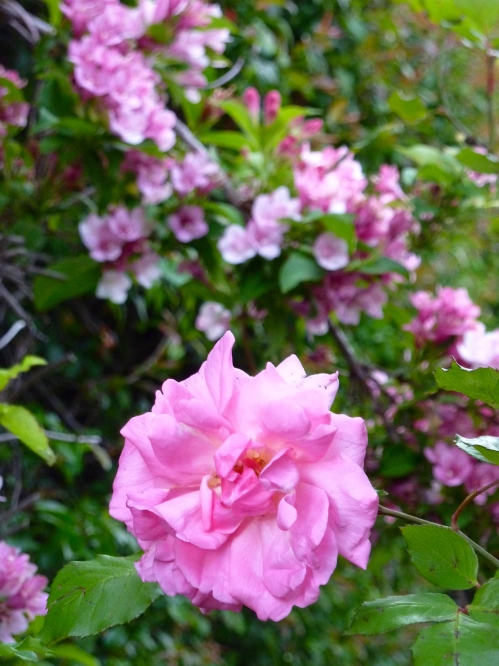 pink rose and beauty bush