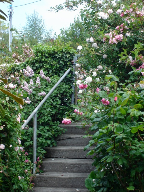 front gate roses