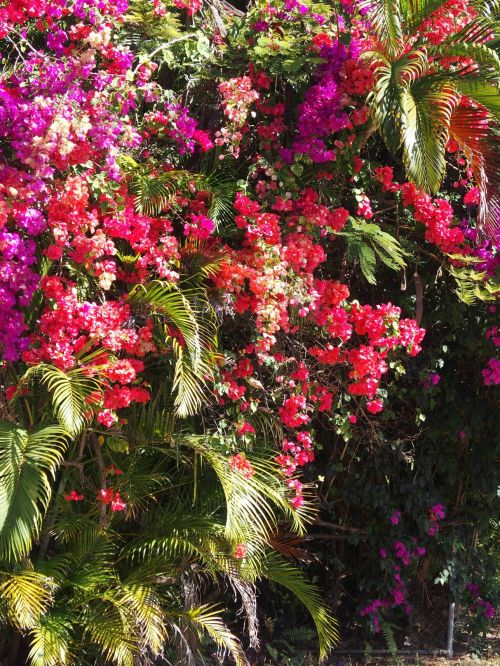 bougainvilleas on Magnetic Island