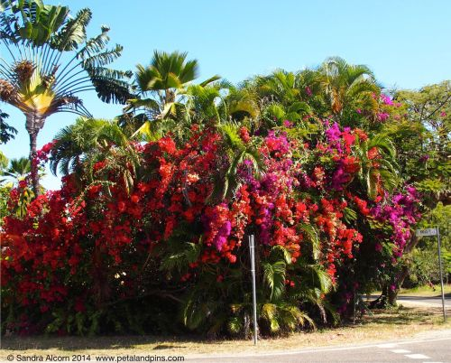 Magnetic Island bougainvilleas