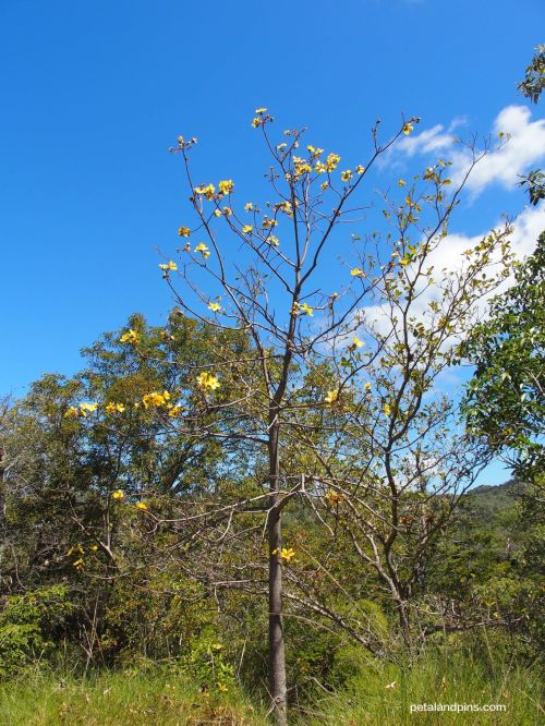 native kapok tree Magnetic Island