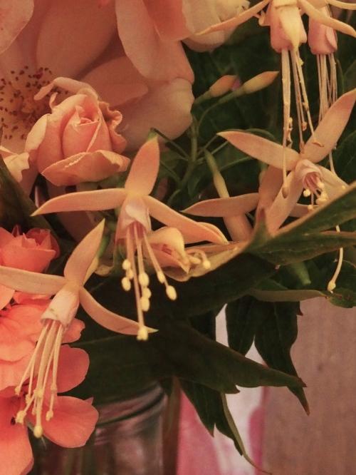 pale pink fuchsias