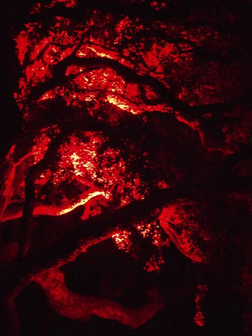 trees lit red for Dark Mofo
