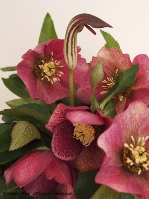 hellebores and cobra head lily