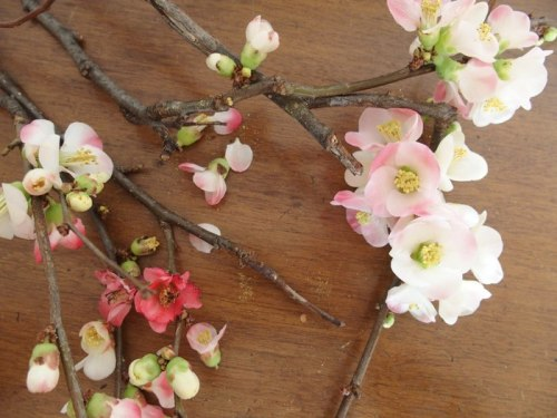 japonica flowers