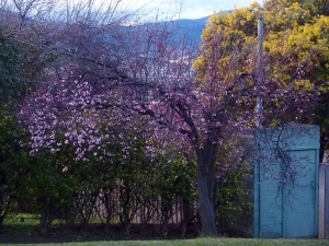 blossom trees and wattle