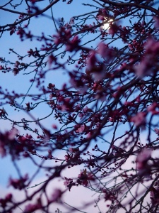 twilight and blossom