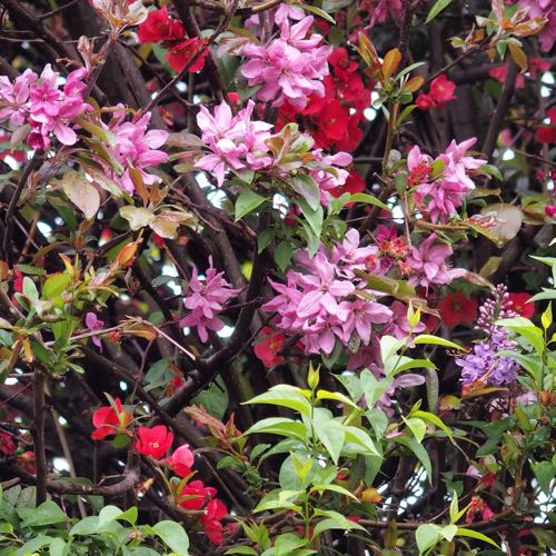 crabapple and japonica