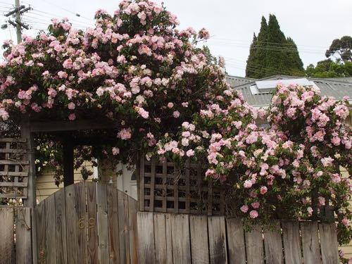 pale pink climbing rose