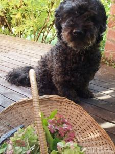 Agnes the labradoodle with flower basket