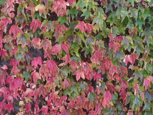 autumn ornamental grape vine