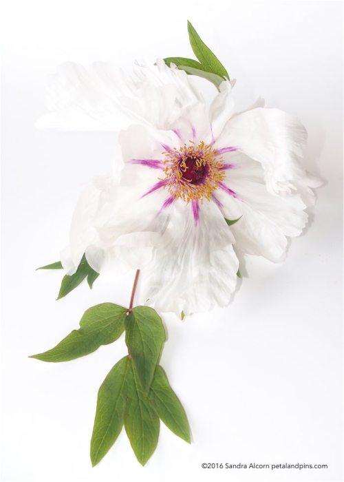 tree peony flower