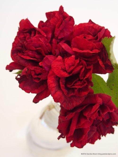 Carmel's rose