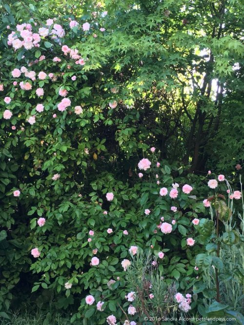 cecile-brunner-rose-in-my-front-garden
