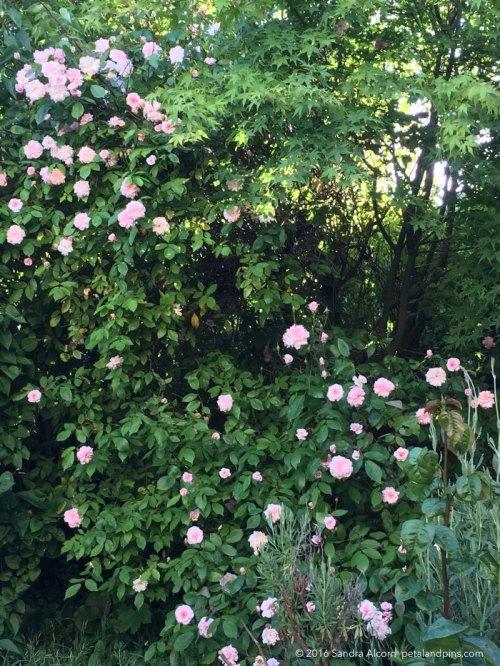 cecile-brunner-rose-in-my-front-garden