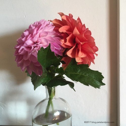 two dahlias from my garden