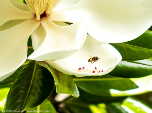 bee in the magnolia